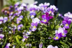 Bukiet Pansies Obraz Royalty Free