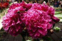 Bukiet peonia kwiatów zmroku menchie na rozmytym tle, Obraz Stock