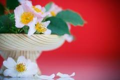 Bukiet piękne dzikie róże Obrazy Royalty Free