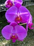 Bukiet pinkBo bukiet pkBouque Storczykowy Phalaenopsis na tle liścia Storczykowy Phalaenopsis na tle liście zdjęcie royalty free