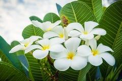 Bukiet plumeria kwitnie na drzewach (frangipani) zdjęcia royalty free