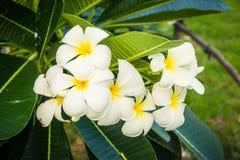 Bukiet plumeria kwitnie na drzewach (frangipani) fotografia royalty free