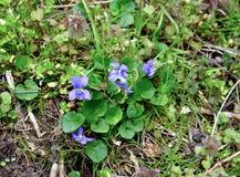 Bukiet pospolici błękitni fiołków kwiaty i zieleni sercowaci liście Obraz Royalty Free