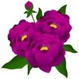 Bukiet purpur peonie Zdjęcie Stock