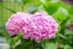Bukiet purpurowe hortensje Pojęcie jest wakacje, weddin Obrazy Stock
