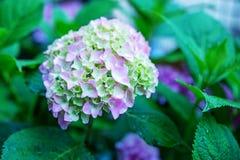 Bukiet purpurowe hortensje Pojęcie jest wakacje, weddin Zdjęcia Stock