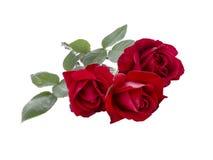 bukiet puszki kropli liści, czerwona róża wody Obrazy Royalty Free