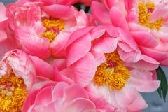 Bukiet różowy peoni zbliżenie Zdjęcie Royalty Free