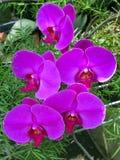 Bukiet różowy Storczykowy Phalaenopsis na tle liście fotografia stock