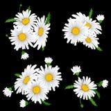 Bukiet realistyczna stokrotka, rumianków kwiaty Zdjęcie Stock