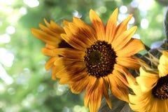 Bukiet słoneczniki obrazy stock