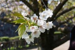 Bukiet Sakura kwitnienie w Japan Zdjęcie Stock