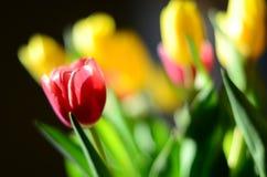 Bukiet tulipany indoors Obraz Stock