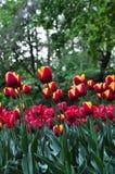Bukiet tulipany tulipany kolor tulipany w wiośnie, colourful tulipan Obraz Stock