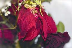 Bukiet więdnąć czerwone róże Fotografia Stock