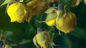 Bukiet wysuszony żółtych róż zamknięty up zbiory wideo