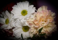 Bukiet z białej stokrotki kwiatami zamyka up na czarnym tle Zdjęcie Stock