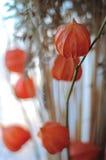 Bukiet z kwiatami pęcherzyca i owies Zdjęcie Stock