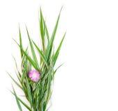 Bukiet zieleń paskował dekoracyjnego trawy phalaris z kwiatem chabrowym na białym tle z przestrzenią dla teksta Obrazy Royalty Free