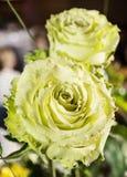 Bukiet zielone róże, zamyka w górę fotografii, urodzinowy prezent Zdjęcie Royalty Free