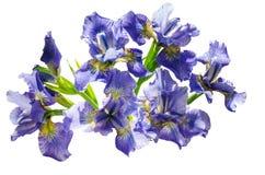 Bukieta blueflag lub irysowy kwiat Odizolowywający na białym tle Obraz Royalty Free