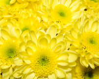 bukieta chryzantem kolor żółty Fotografia Royalty Free