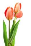 bukieta czerwieni tulipany Fotografia Stock