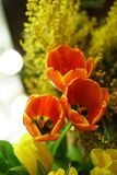 bukieta jaskrawy kwiatu obrazka wektor Czerwoni tulipany i mimozy Obrazy Royalty Free
