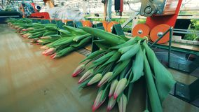 Bukiety tulipany dostają mechanically wiązali w górę zbiory