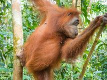 Orangutan climbing a tree in Bukit Lawang, Indonesia. Bukit Lawang is most famous for being a site to easily spot semi-wild orangutans near convenient tourism Royalty Free Stock Photo