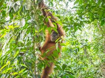 Orangutan in Bukit Lawang climb down from the tree. Bukit Lawang is most famous for being a site to easily spot semi-wild orangutans near convenient tourism Royalty Free Stock Image