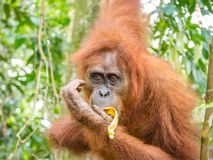Orangutan eating banana in Bukit Lawang, Indonesia. Bukit Lawang is most famous for being a site to easily spot semi-wild orangutans near convenient tourism Stock Image