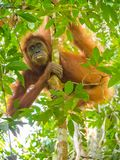 Orangutan Climbing a tree, Bukit Lawang, Indonesia. Bukit Lawang is most famous for being a site to easily spot semi-wild orangutans near convenient tourism stock photos