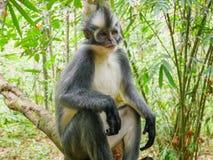Thomas`s Leaf Monkey in Bukit Lawang, Indonesia. In Bukit Lawang the Presbytis species is Presbytis thomasi, Thomas`s leaf monkey. Sightings of Thomas` leaf royalty free stock photos
