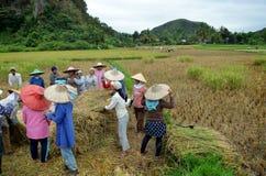 Bukit Tinggi, Indonesië - December, 20 2012: De groep lokale mensen werkt samen het oogsten padie Stock Afbeelding