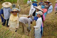 Bukit Tinggi, Indonesië - December, 20 2012: De groep lokale mensen werkt samen het oogsten padie Stock Fotografie