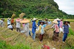 Bukit Tinggi, Indonesië - December, 20 2012: De groep lokale mensen werkt samen het oogsten padie Stock Afbeeldingen