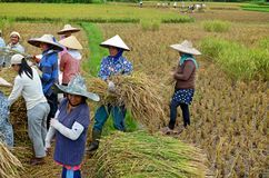Bukit Tinggi, Indonesia - dicembre, 20 del 2012: Il gruppo di gente locale sta lavorando insieme raccogliendo il risone Fotografie Stock