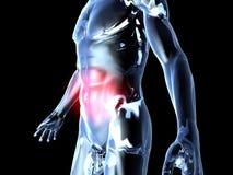 Bukknip - anatomi Arkivbild