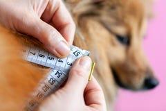 Bukomkretsen mätas med en måttband på en hund fotografering för bildbyråer