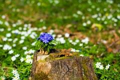 bukowa lasowa hepatica nobilis Poland wiosna brać lasowi błękitny kwiaty Fotografia Royalty Free