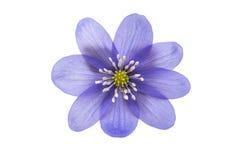 bukowa lasowa hepatica nobilis Poland wiosna brać Obrazy Royalty Free