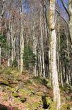 bukowa lasowa wiosna Zdjęcie Royalty Free