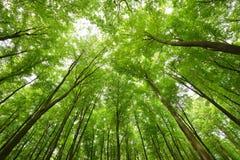 Bukowego drzewa las Fotografia Royalty Free