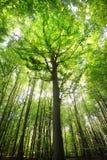 Bukowego drzewa las Obraz Royalty Free