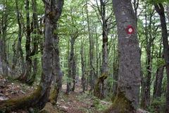 Bukowego drzewa las i ślad ocena na drzewie obraz stock