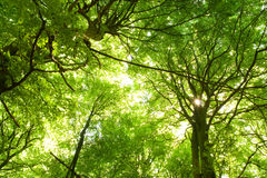 bukowi drzewa obrazy stock