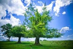 bukowi drzewa Zdjęcia Royalty Free