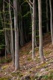 Bukowi drzewa na zboczu góry Obrazy Royalty Free