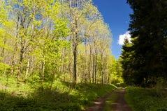 Bukowi drzewa w Eifel Zdjęcia Stock
